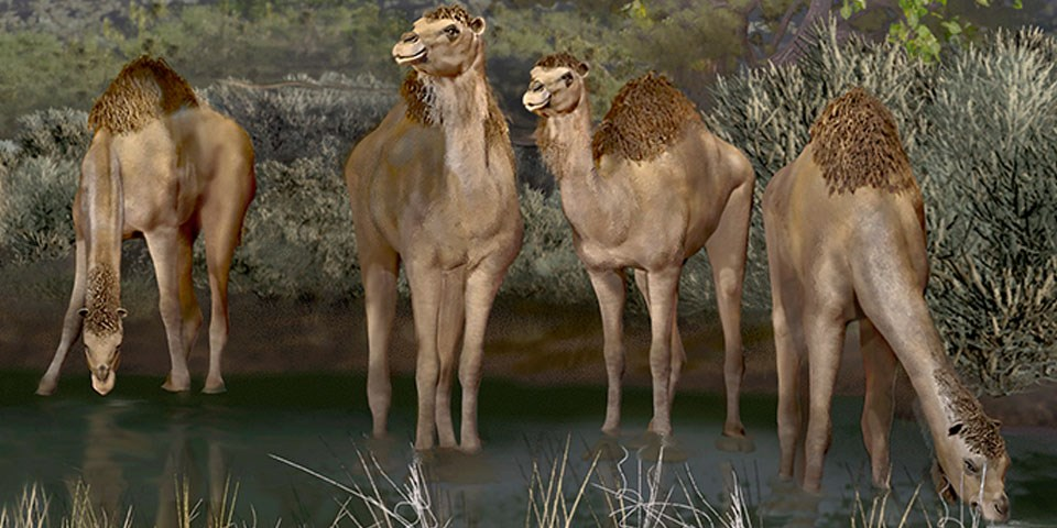 Ancient Camels standing in water