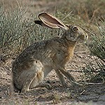 Black-Tailed Jackrabbit in the desert