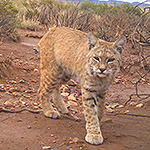 Bobcat standing in red mud