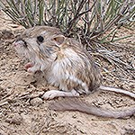 Kangaroo Rat near grass