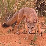 Kit Fox in the desert