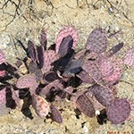 Purple Prickly Pear Cactus plant in desert.