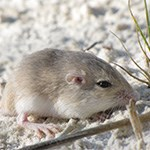 Apache Pocket Mouse on white sand