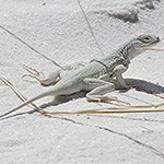 White lizard in the sand