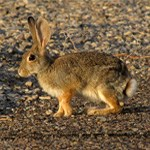 Desert Cottontail in the desert