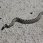 brown and white snake on sand.
