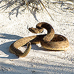 coiled tan snake on white sand.