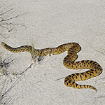 tan and brown snake on white sand.