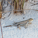 blue, tan, and white lizard on white sand.