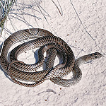 gray, slender snake on white sand.