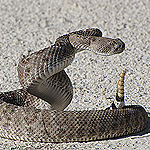 coiled rattlesnake on white sand.