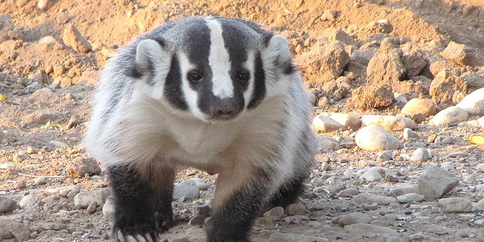 american badger white sands national monument us