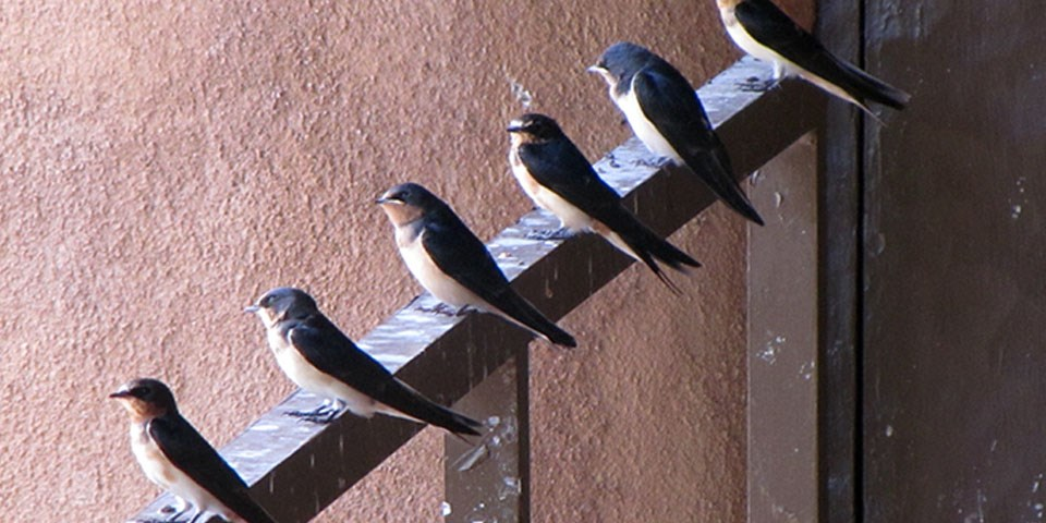 Barn Swallows perched on a railing