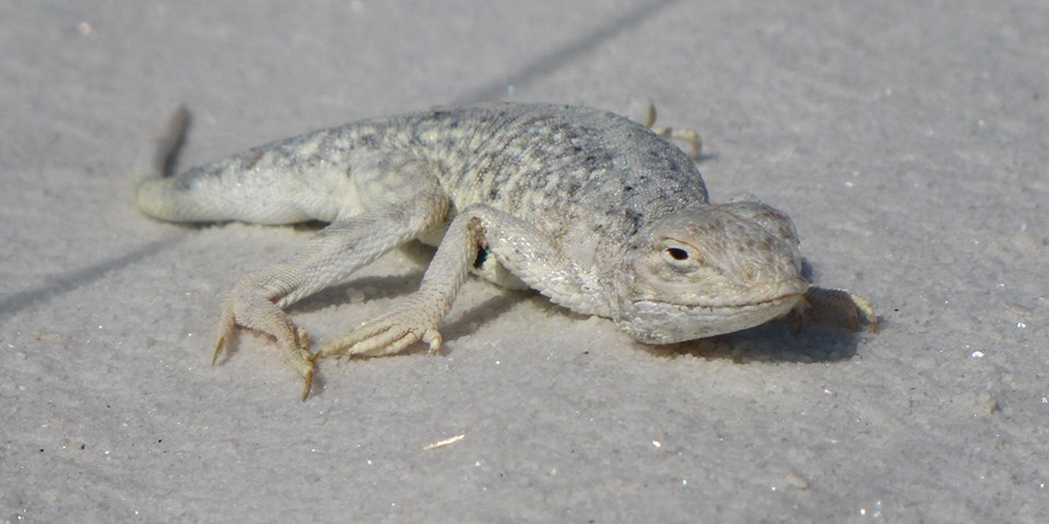 A white and grey lizard crawls along white sand