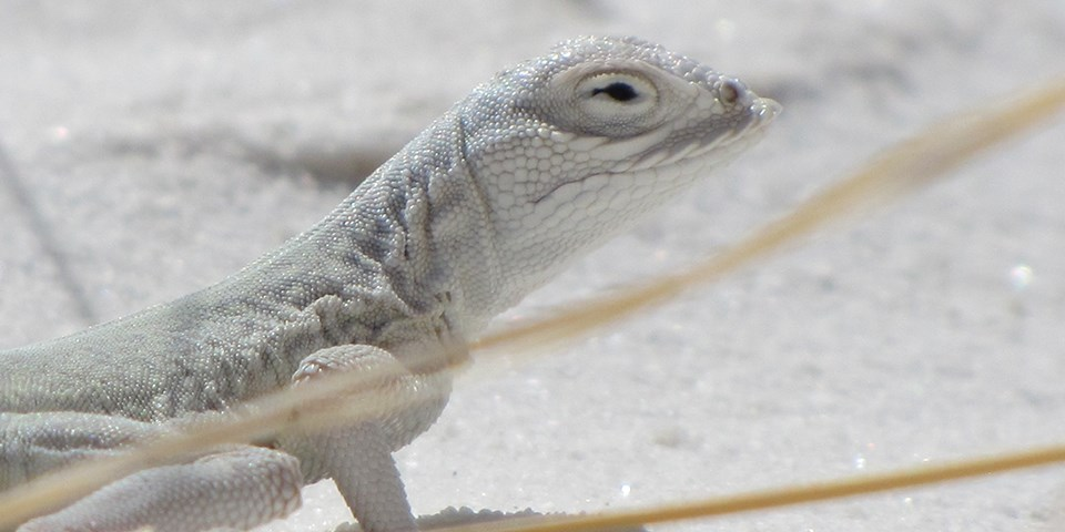 White lizard on white sand.