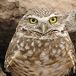 Burrowing Owl in desert