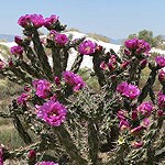 Cactus with pink flowers.