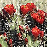 Cactus with red flowers.