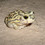 Couch's Spadefoot Toad in the desert.