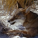 Coyote laying on white sand.