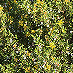 Green Creosote Bush.