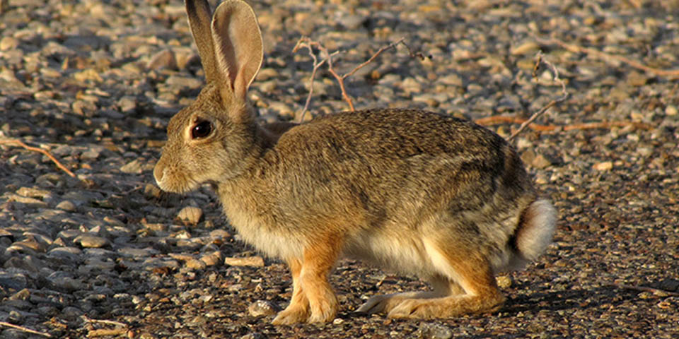 Desert Cottontail White Sands National Monument U S