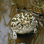 Great Plains Toad in the water.