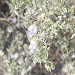 Green Hoary Rosemary Mint plant