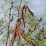 Green Honey Mesquite shrub with brown bean pods