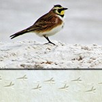 Horned Lark with tracks
