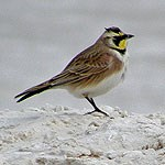 Horned Lark on a rock