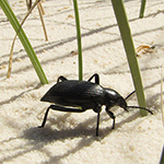 Beetle on the sand