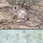 Merriam's Kangaroo Rat with tracks
