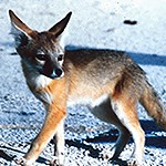 Kit fox on white sand.