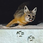 Kit Fox with tracks