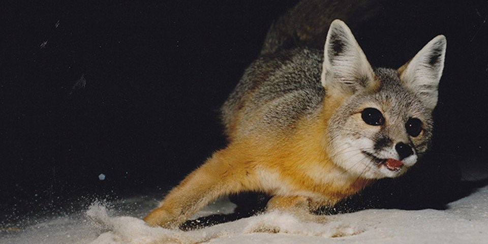 A kit fox in the sand at night.