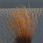 Little Bluestem Grass in white sand.