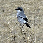 Loggerhead Shrike perched on a shrub