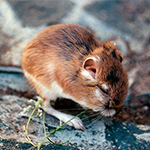 Kangaroo Rat eating grass