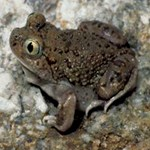 Mexican Spadefoot Toad in the sand.