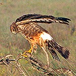 Northern Harrier on a branch