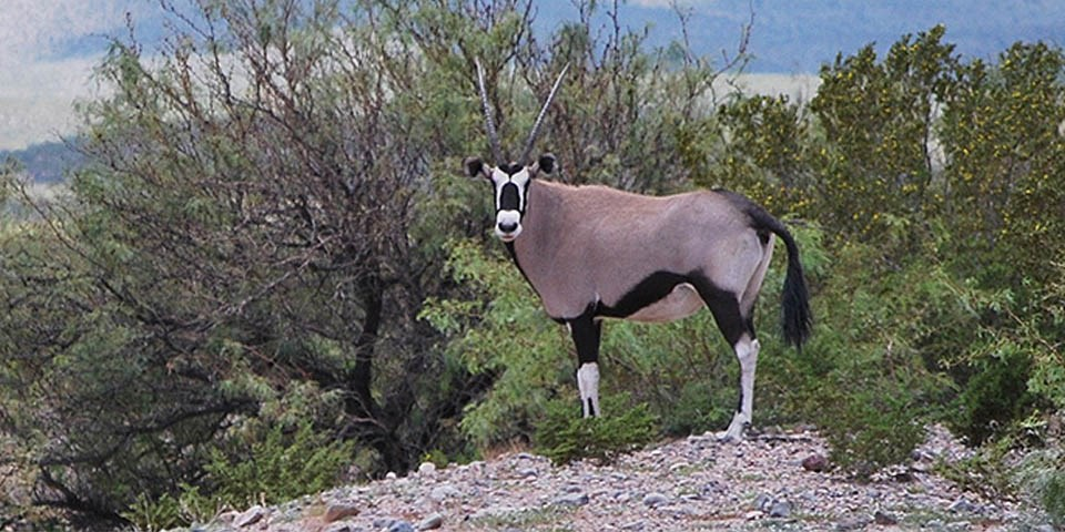 Large tan and black oryx with white and black face and two straight horns