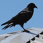 Large black bird on a metal roof.