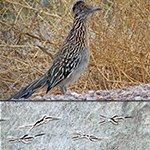 Greater Roadrunner with tracks