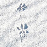 Roadrunner Tracks on white sand.