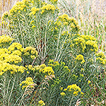 Green shrub with yellow flowers.