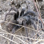 Tarantula on ground