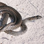 Gray speckled snake on white sand.