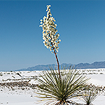A yucca plant blooms