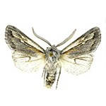 A pinned gray and white moth